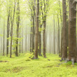 Spring beech forest — Stock Photo #3630784