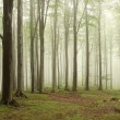 Misty beech forest — Stock Photo #3761228