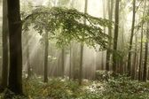Beech forest at dawn — Stock Photo