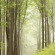Trail through misty beech forest - Stock Photo