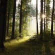 Misty spring forest at dawn — Stock Photo
