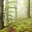 Early autumn beech forest — Stock Photo