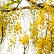 Golden Shower Tree — Stock Photo