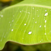 Water drops on banana leaf — Stock Photo