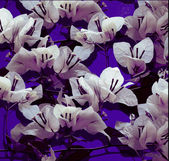 White bougainvillea on purple painted wall — Stock Photo