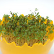 New born cress — Stock Photo