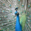 Stock Photo: Peacock with tail extended