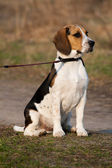 Tri-colored beagle puppy — Stock Photo
