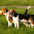 Beagle dogs — Stock Photo