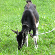 Stock Photo: Leaning black goat on green grassland