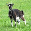 Black goat on green grassland - Foto Stock