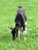Leaning black goat on green grassland — Stock Photo