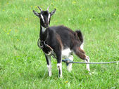 Black goat on green grassland — Stock Photo