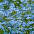 Forget-me-not. - Stock Photo