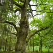 Stock Photo: Old oak.
