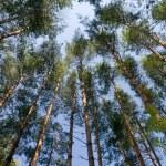 Pine wood. — Stock Photo