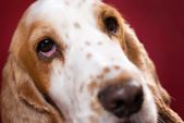 Bloodshot eye of spaniel — Stock Photo