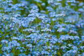 Forget-me-not. — Stock Photo