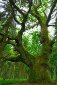 Big oak. — Stock Photo