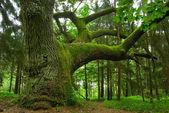 Mighty oak. — Stock Photo