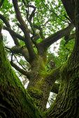 Powerful oak. — Stock Photo