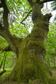 Huge oak. — Stock Photo
