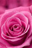 Pink rose detail. — Stock Photo
