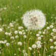 Field of dandelions — Stock Photo #2809346