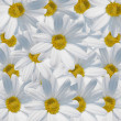 Stock Photo: Daisy background