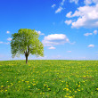 Spring field,lone tree and blue sky. - Stock Photo