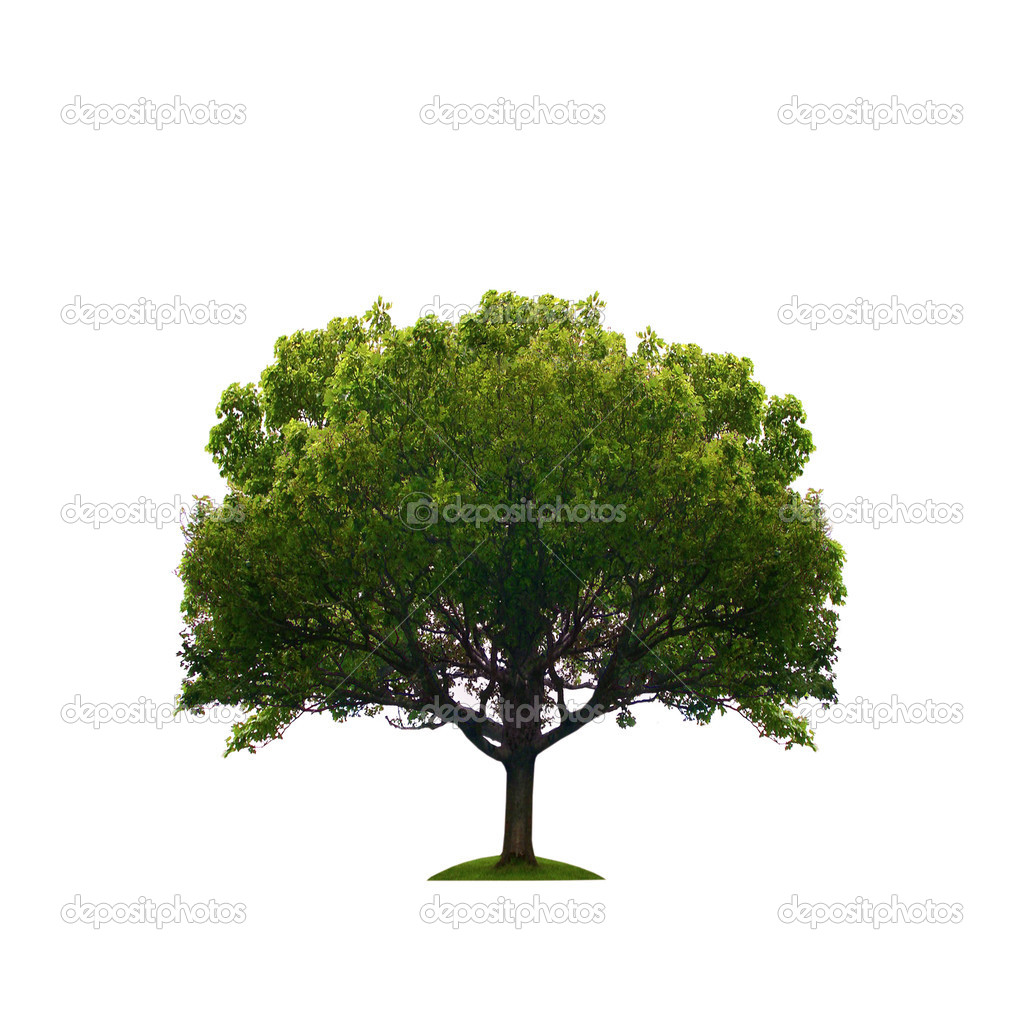 Tree isolated on white background — Stock Photo #2807581