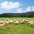Herd sheep — Stock Photo