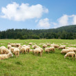 Herd sheep - Stock Photo