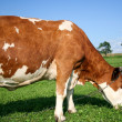 Red Cow — Stock Photo #2832960