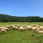 Herd sheep — Stock Photo