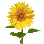 Beautiful sunflower — Foto de Stock