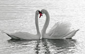 Swans love. — Stock Photo