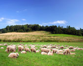 Sheeps on a green meadow — Stock Photo
