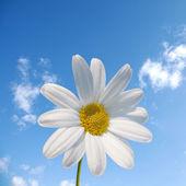Daisy witte bloem en blauwe hemel — Stockfoto