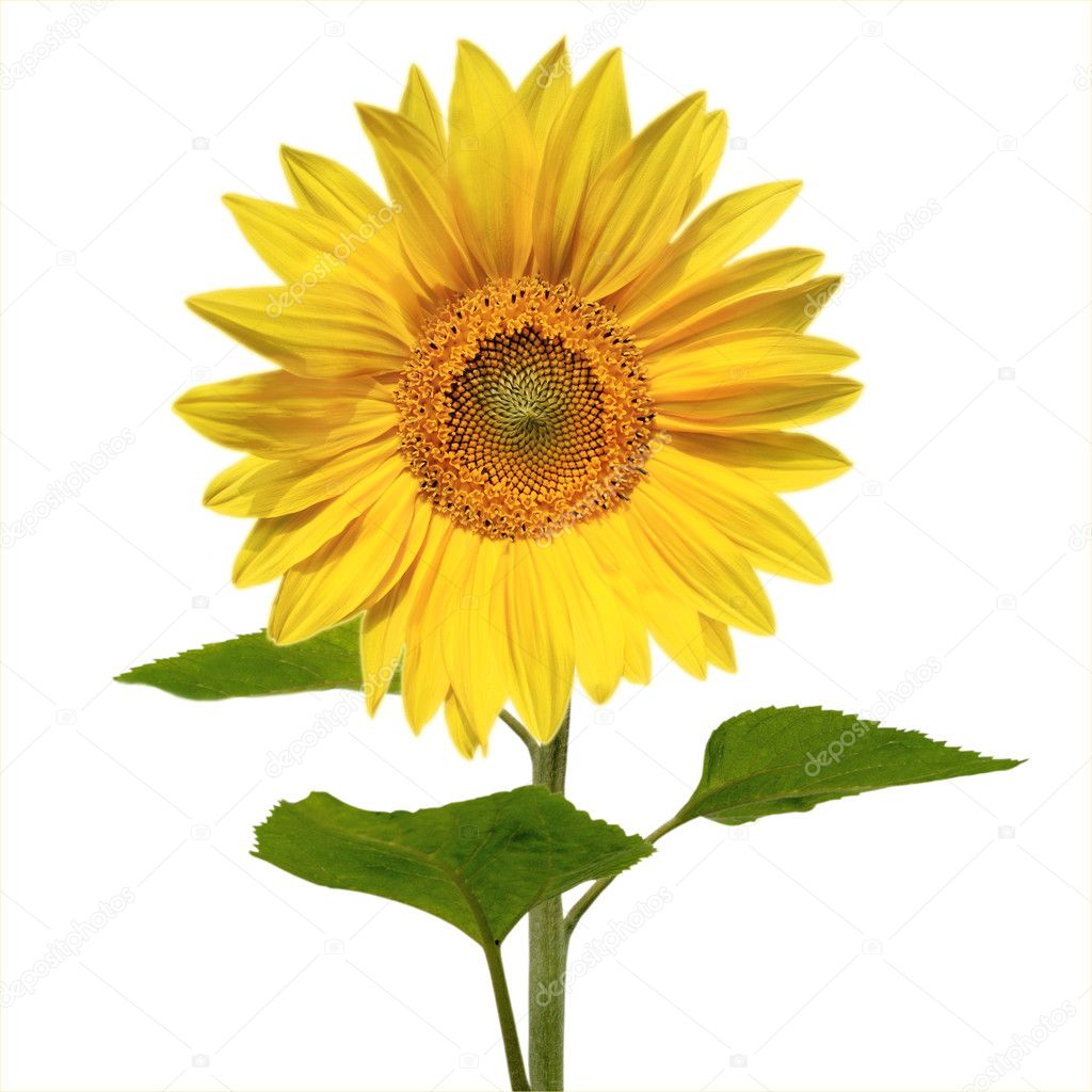 Beautiful vivid sunflower isolated — Stock Photo #2833061