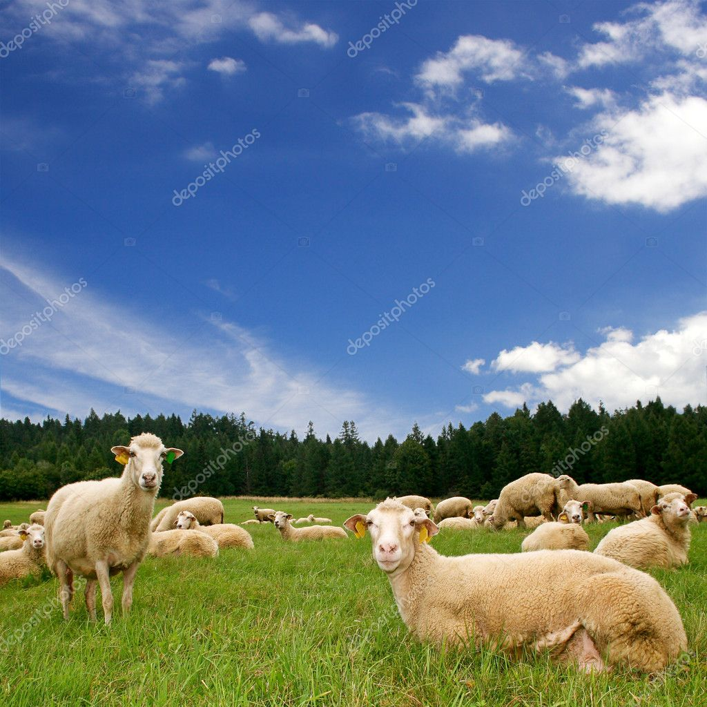 Herd sheep on a green meadow — Photo #2834859