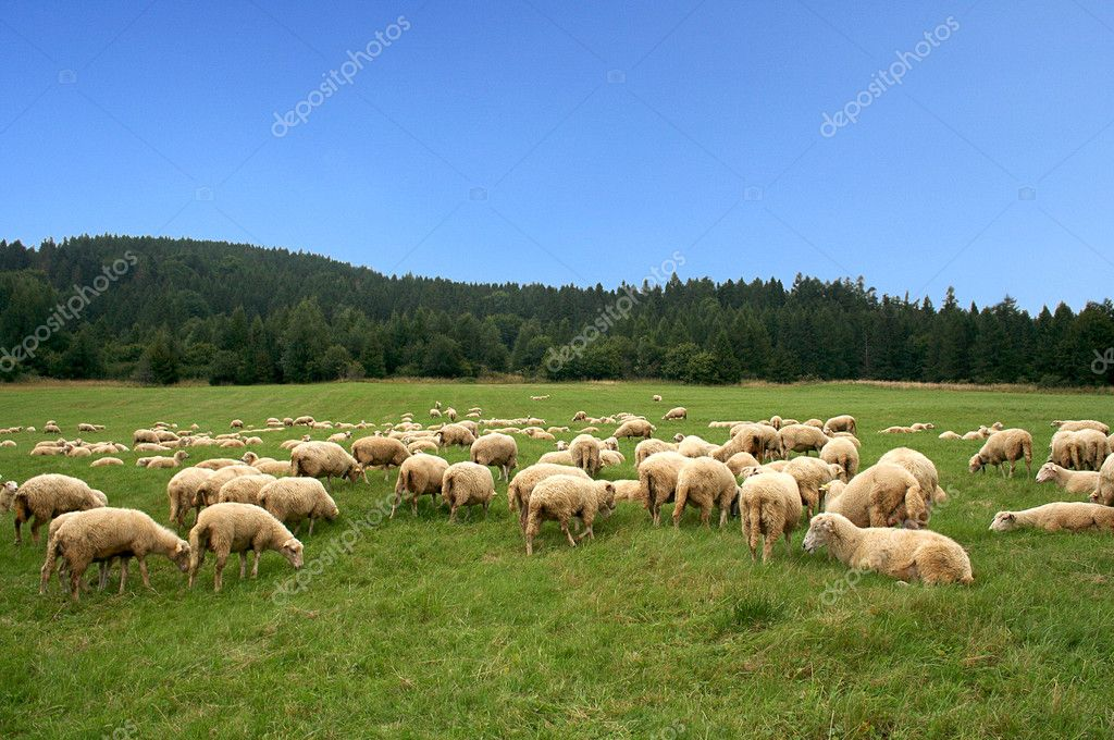 Herd sheep — Stock Photo #2834862