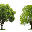 Two green tree on white background — 图库照片