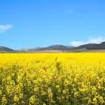 Yellow Rape-seed Field — Stock Photo #2843632