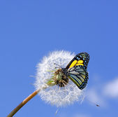 Dandelion and butterfly — Stock Photo