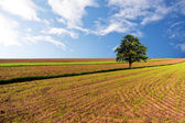 Green wheat fields with lone tree — Stock Photo