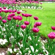 Garden of pink tulips — Stock Photo
