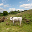 White cow on a green pasture - Stock Photo