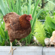 Chicken family on green lawn - Stock Photo