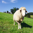 Stock Photo: Sheep looking at camera